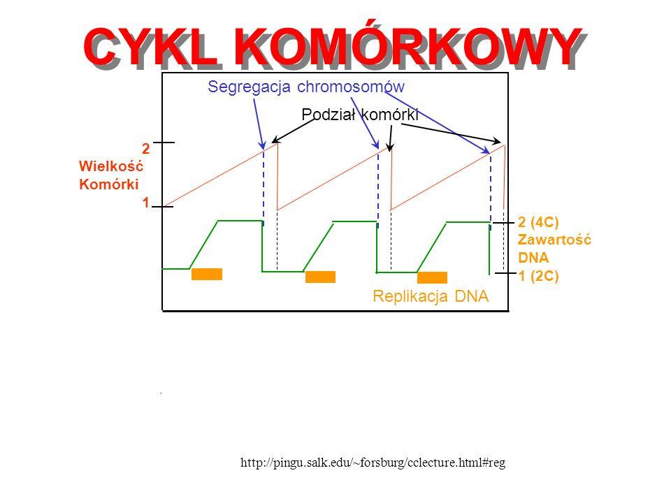 Nowa komórka siostrzana Mitoza (podział komórek) Regulacja przez mitochondria Początek cyklu Czynniki wzrostu Onkogeny Cykliny & CDK Cykl Krebsa (mitochondria) Bloker guzów geny, CDK Blokowanie Synteza, (Podwojenie DNA) Punkt zakazu (Niemożliwość powrotu) Cykl komórkowy 0,5 DO 24 GODZIN Aleksander L.