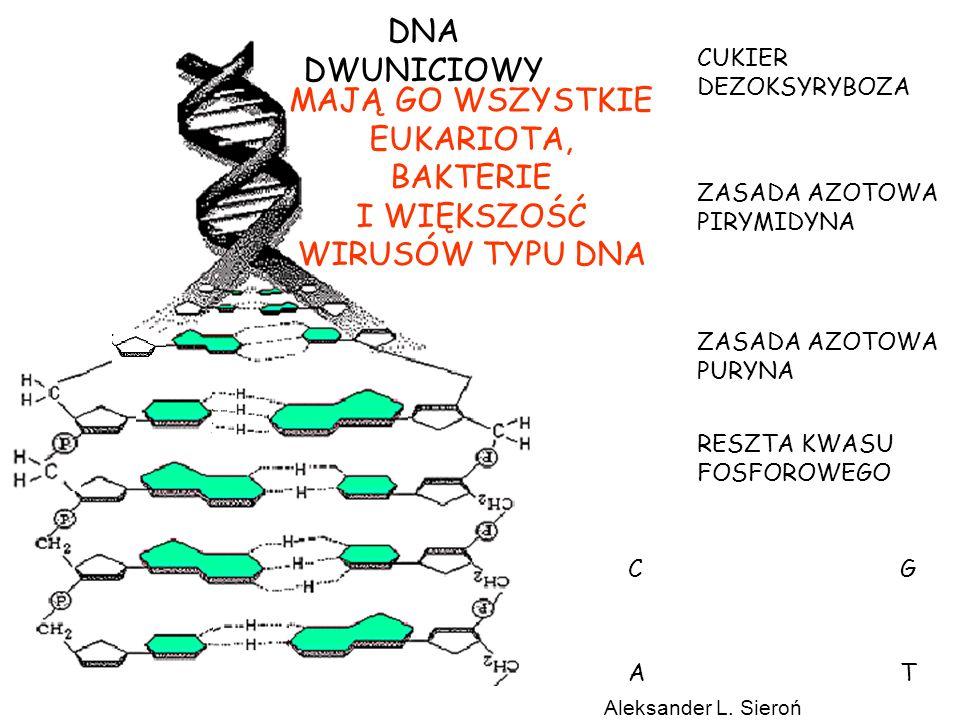 http://pingu.salk.edu/~forsburg/cclecture.html#reg Stężenie Cyklin Aktywność CDK (kinazy cyklino zależne – fosforylazy) Replikacja DNA 2 Zawartość DNA 1 Segregacja chromosomów Podział komórki 2 Wielkość komórki 1 CYKL KOMÓRKOWY