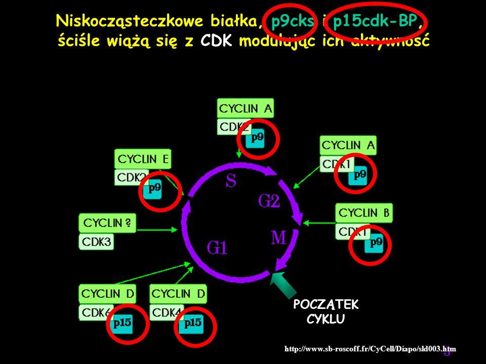 http://www.sb-roscoff.fr/CyCell/Diapo/sld003.htm Niskocząsteczkowe białka, p9cks i p15cdk-BP, ściśle wiążą się z CDK modulując ich aktywność POCZĄTEK