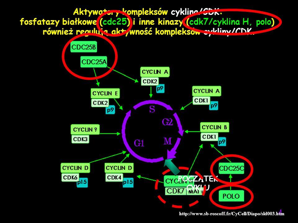 http://www.sb-roscoff.fr/CyCell/Diapo/sld003.htm Aktywatory kompleksów cyklina/CDK: fosfatazy białkowe (cdc25) i inne kinazy (cdk7/cyklina H, polo) ró
