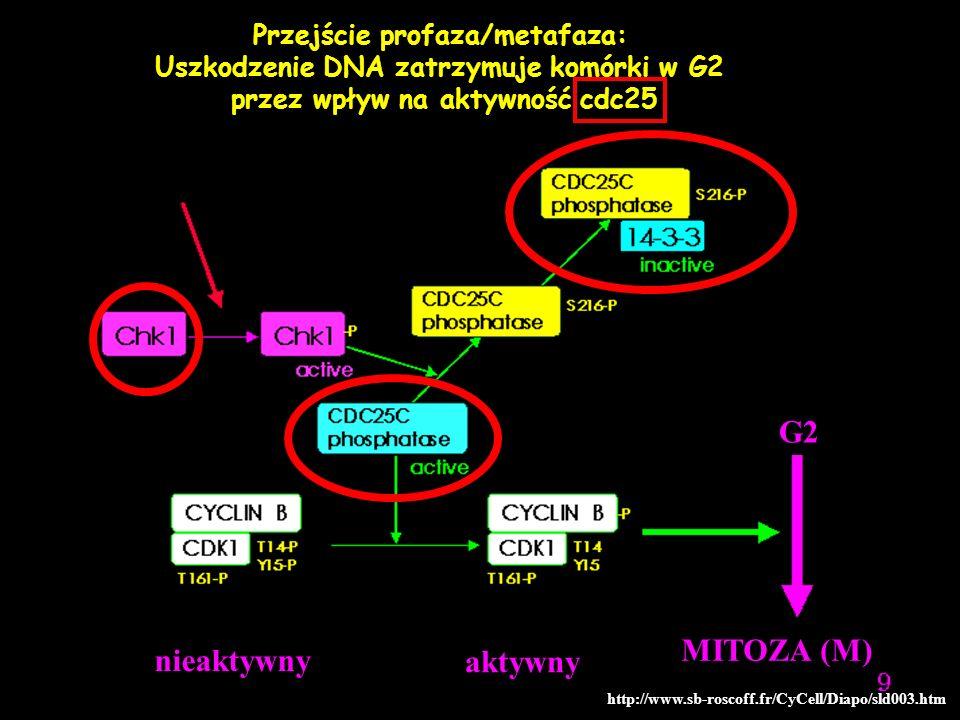 nieaktywny aktywny MITOZA (M) G2 http://www.sb-roscoff.fr/CyCell/Diapo/sld003.htm Przejście profaza/metafaza: Uszkodzenie DNA zatrzymuje komórki w G2