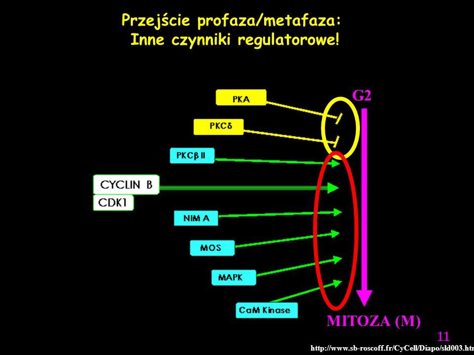 G2 MITOZA (M) Przejście profaza/metafaza: Inne czynniki regulatorowe! http://www.sb-roscoff.fr/CyCell/Diapo/sld003.htm