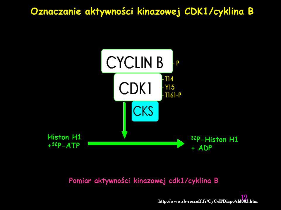 Oznaczanie aktywności kinazowej CDK1/cyklina B http://www.sb-roscoff.fr/CyCell/Diapo/sld003.htm Histon H1 + 32 P-ATP 32 P-Histon H1 + ADP Pomiar aktyw