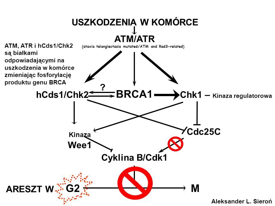Nowa komórka siostrzana Mitoza (podział komórek)Początek cyklu Czynniki wzrostu Oncogeny Cykliny & CDK Bloker guzów geny, CDK Blokowanie Synteza, (Podwojenie DNA) Punkt zakazu (Niemożliwość powrotu) Cykl komórkowy cdk2, 4 i 6 cykliny A, E i D p53 p21 pRB cdk 1 cykliny A i B Wyjście do G 0 pRB/RIZ1 Wejście do Apoptozy Wejście do Apoptozy Aleksander L.
