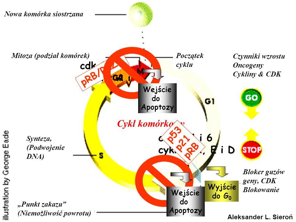 Nowa komórka siostrzana Mitoza (podział komórek)Początek cyklu Czynniki wzrostu Oncogeny Cykliny & CDK Bloker guzów geny, CDK Blokowanie Synteza, (Pod