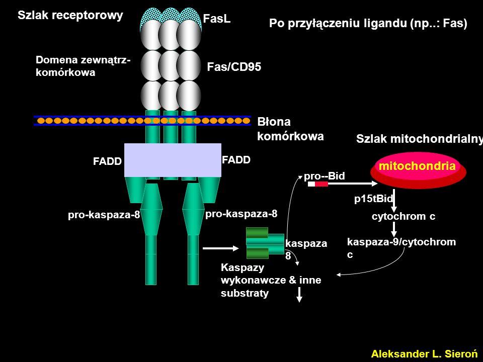 Kaspazy wykonawcze & inne substraty kaspaza 3 pro-kaspaza-8 pro--Bid kaspaza 8 cytochrom c kaspaza-9/cytochrom c mitochondria p15tBid Domena zewnątrz- komórkowa FasL Fas/CD95 Błona komórkowa FADD Szlak receptorowy Szlak mitochondrialny Aleksander L.