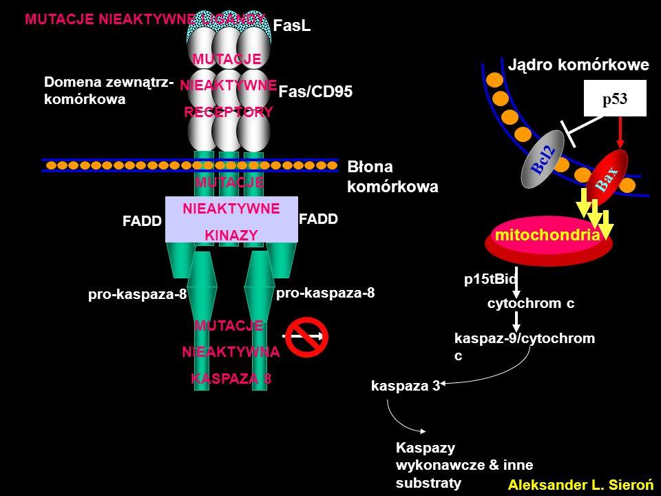 pro-kaspaza-8 Domena zewnątrz- komórkowa FasL Fas/CD95 Błona komórkowa FADD Jądro komórkowe Bcl2 MUTACJE NIEAKTYWNA KASPAZA 8 Kaspazy wykonawcze & inn