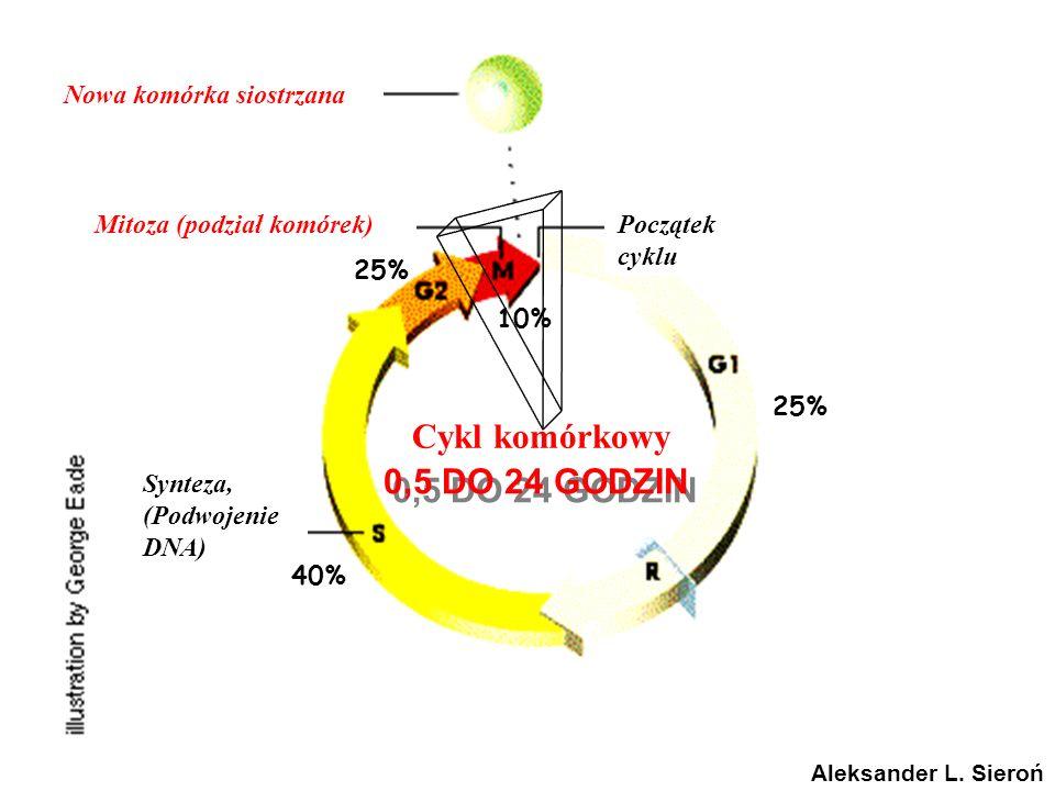 Nowa komórka siostrzana Mitoza (podział komórek)Początek cyklu Czynniki wzrostu Onkogeny Cykliny & CDK Bloker guzów geny, CDK Blokowanie Synteza, (Podwojenie DNA) Punkt zakazu (Niemożliwość powrotu) Cykl komórkowy 0,5 DO 24 GODZIN Aleksander L.