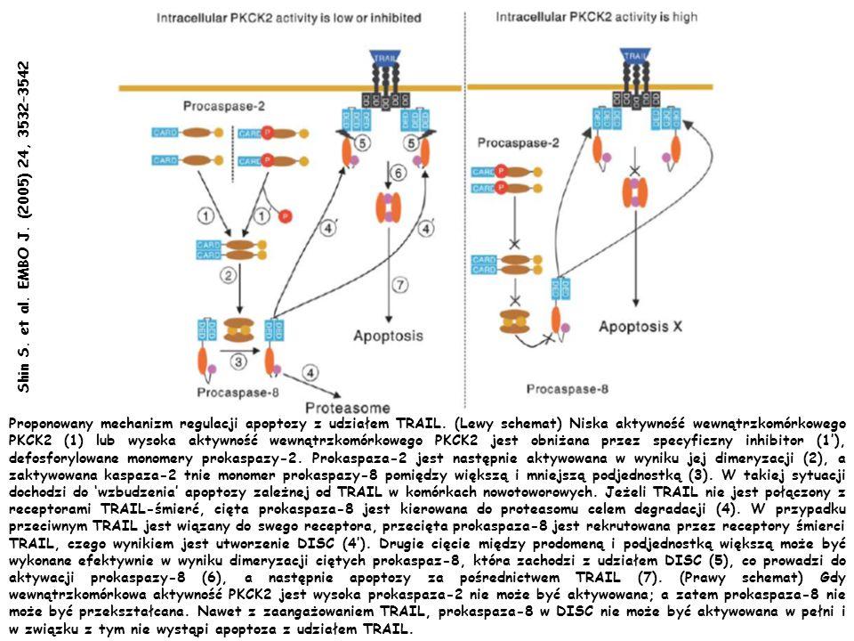 Proponowany mechanizm regulacji apoptozy z udziałem TRAIL. (Lewy schemat) Niska aktywność wewnątrzkomórkowego PKCK2 (1) lub wysoka aktywność wewnątrzk