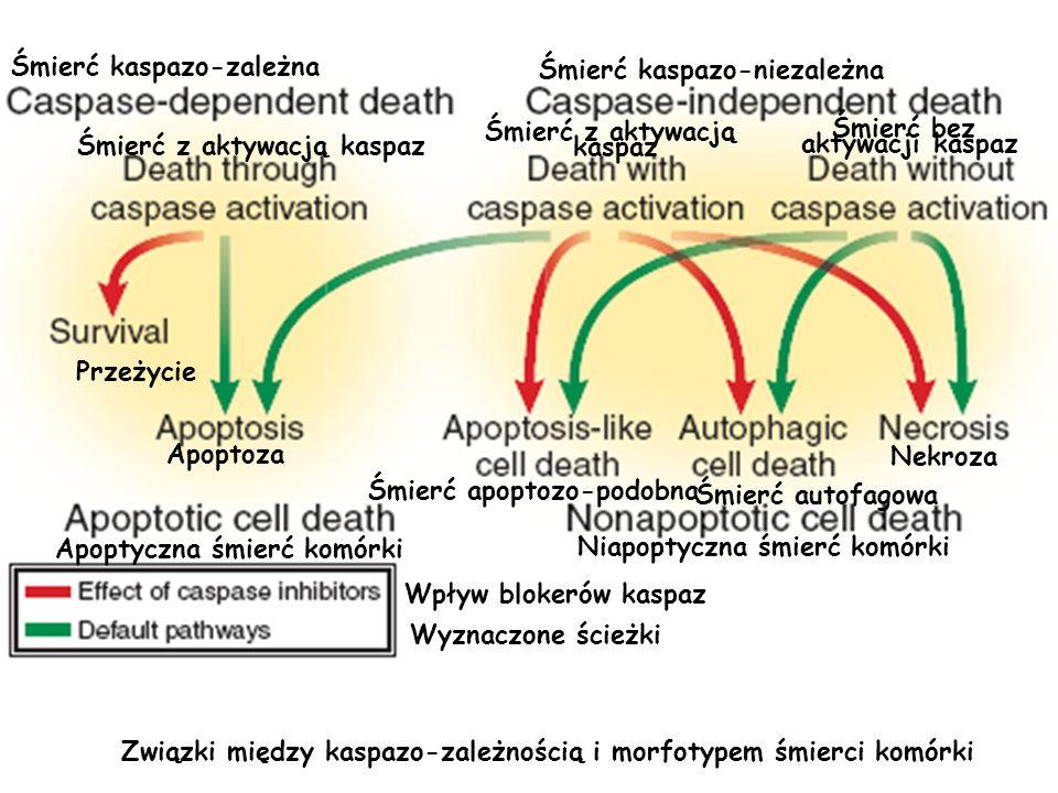 Związki między kaspazo-zależnością i morfotypem śmierci komórki Wpływ blokerów kaspaz Wyznaczone ścieżki Śmierć kaspazo-zależna Śmierć kaspazo-niezale