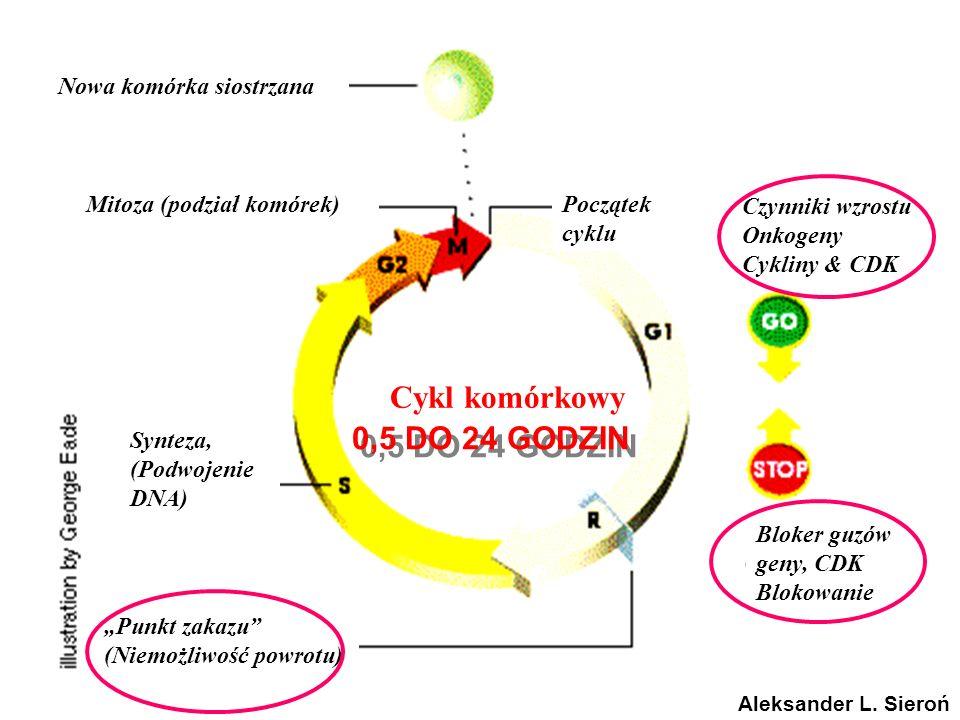 Nowa komórka siostrzana Mitoza (podział komórek)Początek cyklu Czynniki wzrostu Onkogeny Cykliny & CDK Bloker guzów geny, CDK Blokowanie Synteza, (Pod