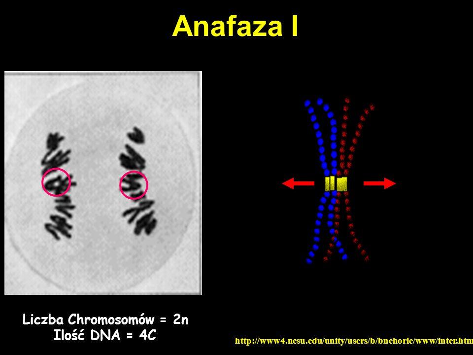 Telofaza I http://www4.ncsu.edu/unity/users/b/bnchorle/www/inter.htm Liczba Chromosomów = 1n Ilość DNA = 2C PAMIĘTAĆ – 1-szy podział mejotyczny to podział REDYKCYJNY