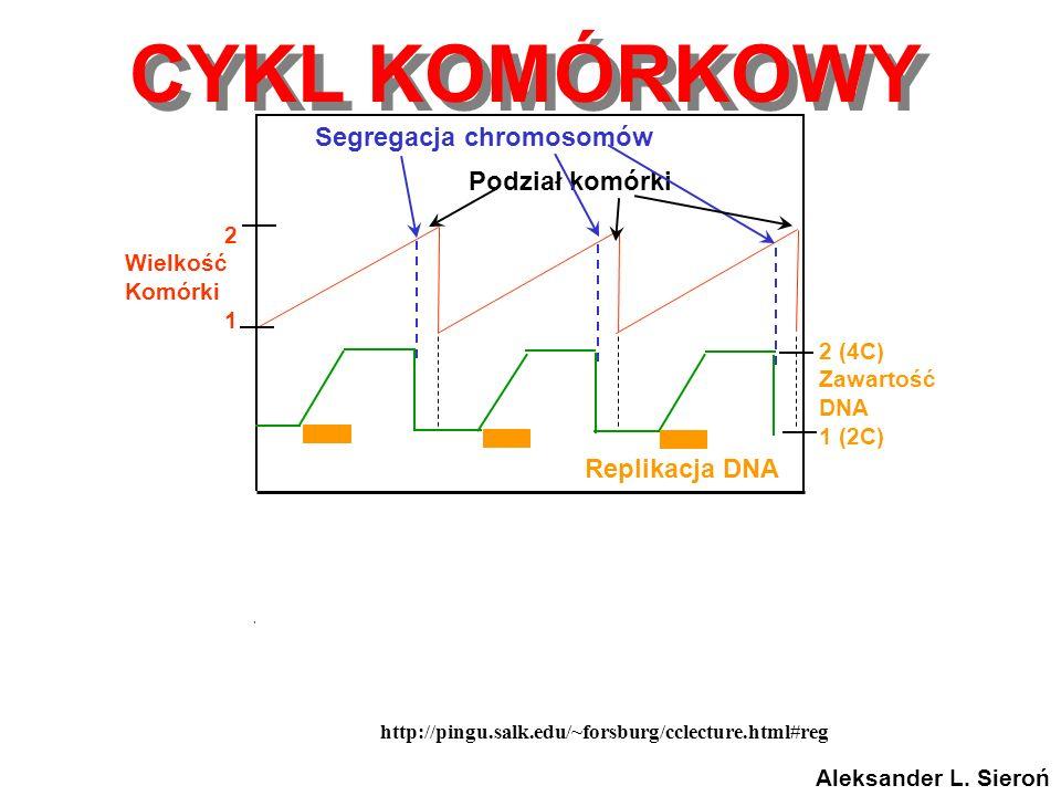 http://pingu.salk.edu/~forsburg/cclecture.html#reg Cyclin levels CDK1 activity Replikacja DNA 2 (4C) Zawartość DNA 1 (2C) Segregacja chromosomów Podzi