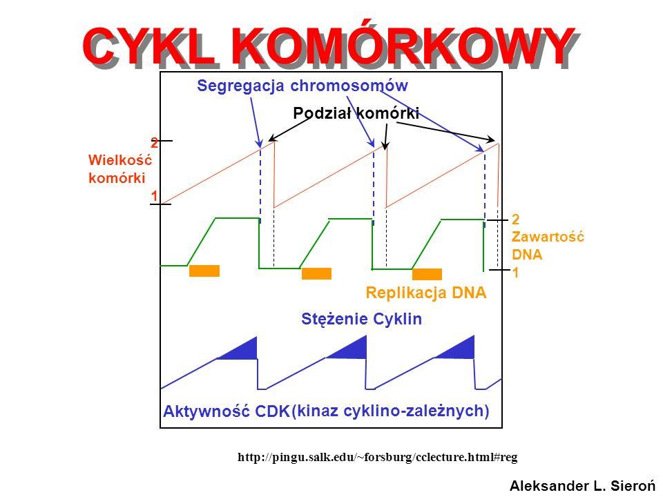 http://pingu.salk.edu/~forsburg/cclecture.html#reg Stężenie Cyklin Aktywność CDK Replikacja DNA 2 Zawartość DNA 1 Segregacja chromosomów Podział komór