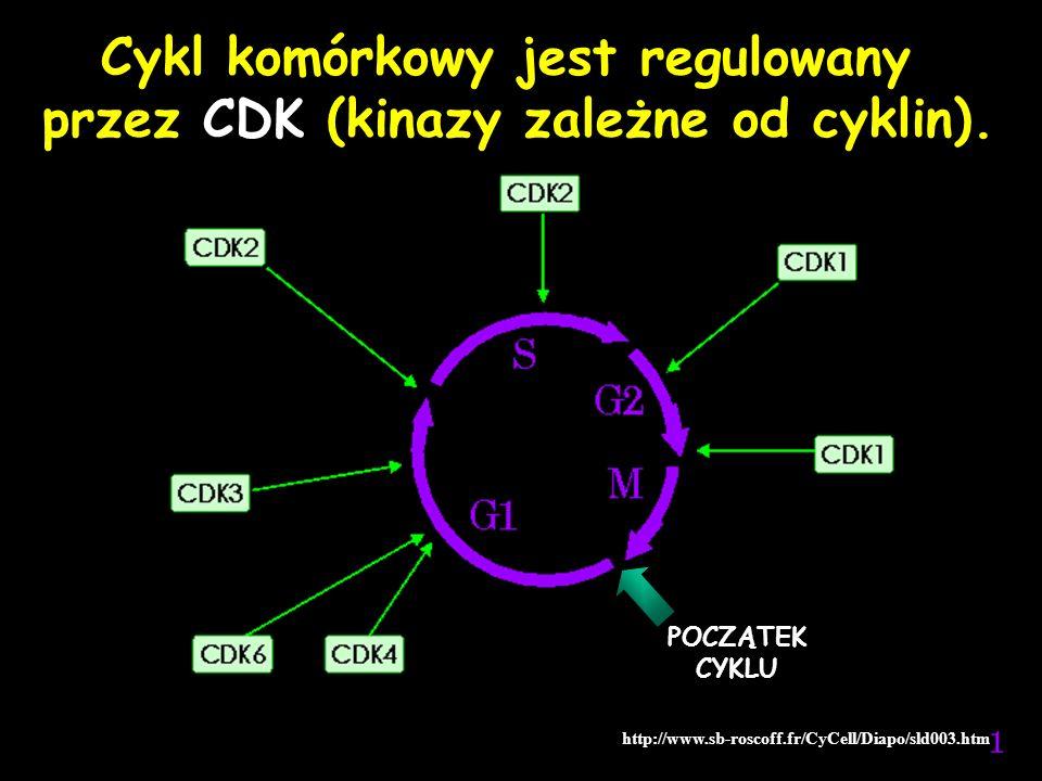 Cykl komórkowy jest regulowany przez CDK (kinazy zależne od cyklin). http://www.sb-roscoff.fr/CyCell/Diapo/sld003.htm POCZĄTEK CYKLU