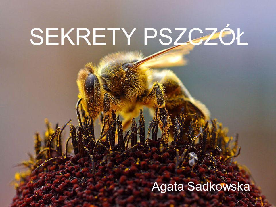 Agata Sadkowska Sekrety pszczół 12 Pszczeli taniec Dystans: do 50m 50m – 150m powyżej 150m RUCH OKRĘŻNY RUCH WAHADŁOWY