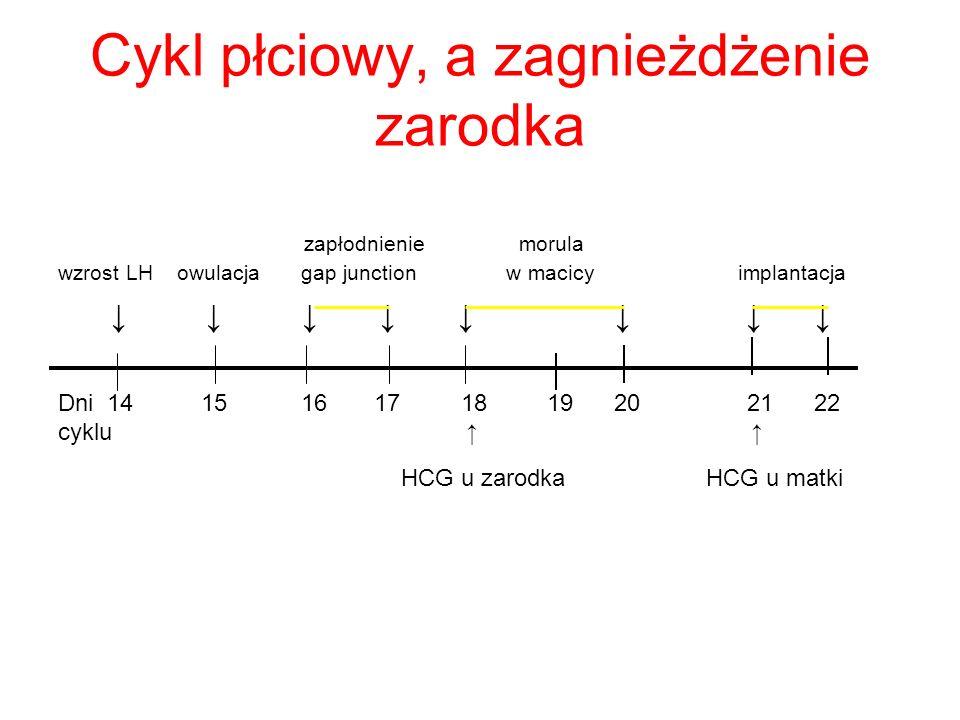 Cykl płciowy, a zagnieżdżenie zarodka zapłodnienie morula wzrost LH owulacja gap junction w macicy implantacja Dni 14 15 16 17 18 19 20 21 22 cyklu HC