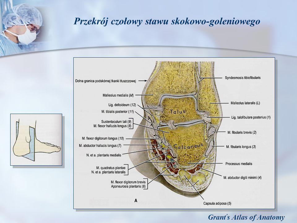 Grant s Atlas of Anatomy Przekrój czołowy stawu skokowo-goleniowego