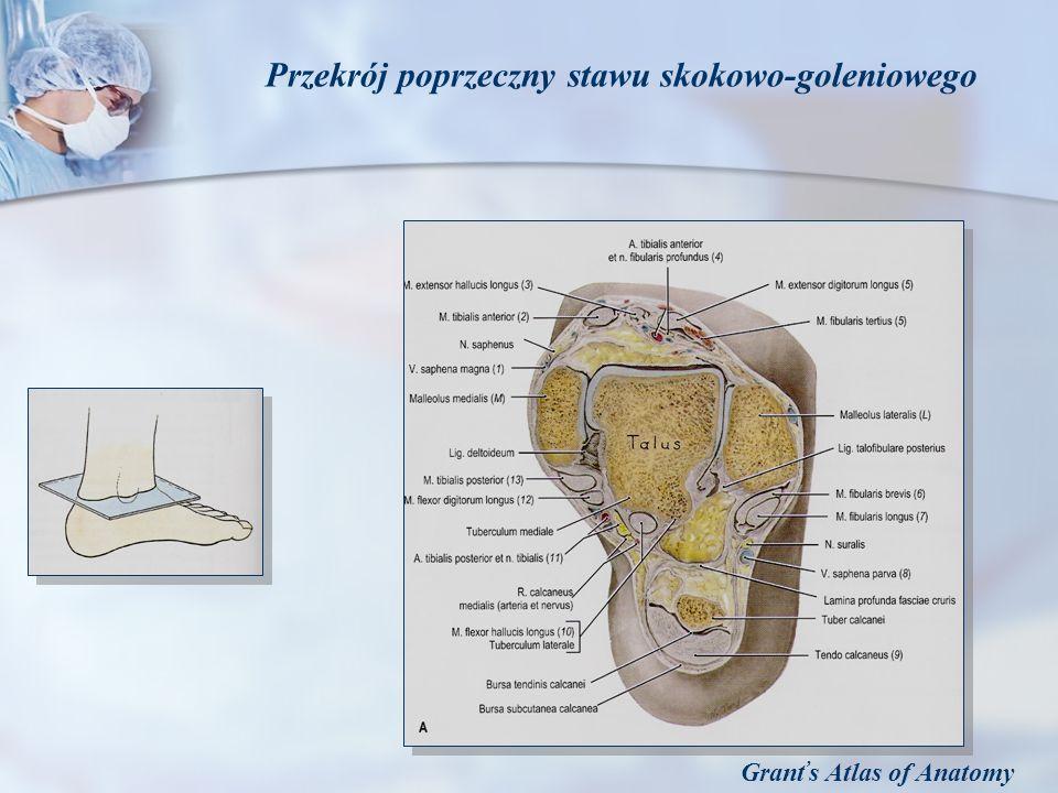Grant s Atlas of Anatomy Przekrój poprzeczny stawu skokowo-goleniowego