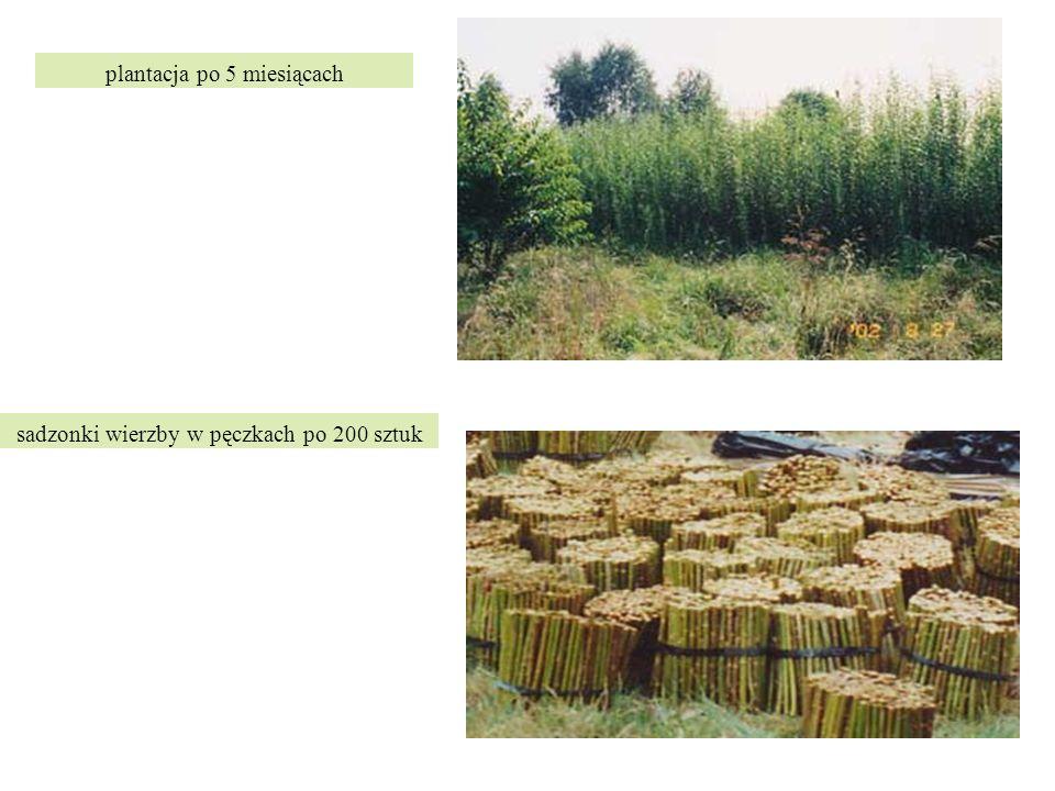 sadzonki wierzby w pęczkach po 200 sztuk plantacja po 5 miesiącach