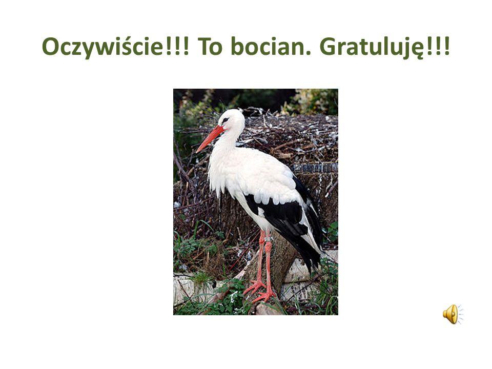 Należy do nielicznej grupy ptaków, które prawie wcale się nie odzywają. Jego krtań dolna - narząd głosowy wszystkich ptaków - nie wytwarza dźwięków. D