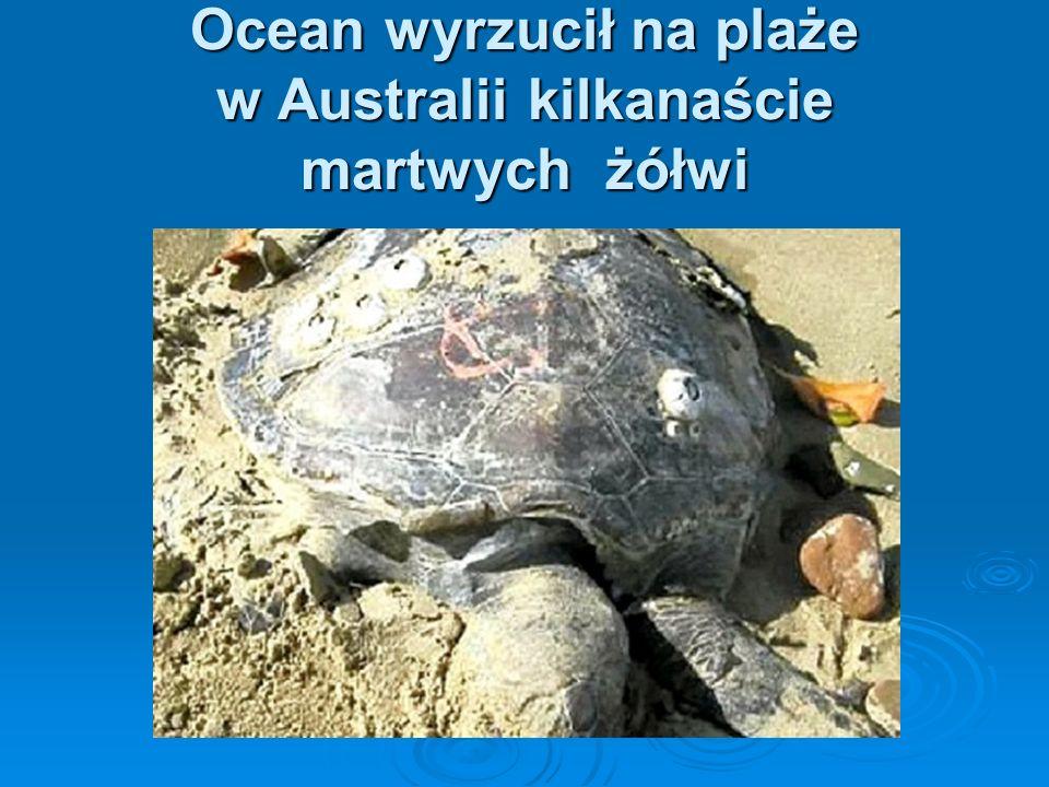 Ocean wyrzucił na plaże w Australii kilkanaście martwych żółwi