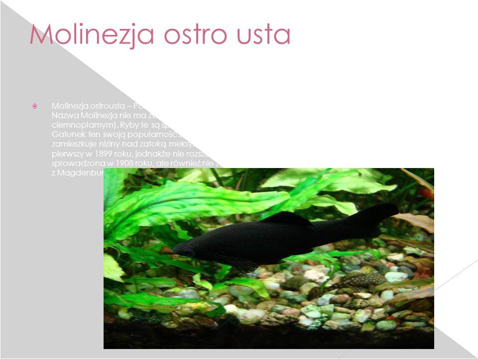 Molinezja ostro usta Molinezja ostrousta – Poecilia sphenops. Jest to jedna z najbardziej popularnych ryb akwariowych. Nazwa Molinezja nie ma związku