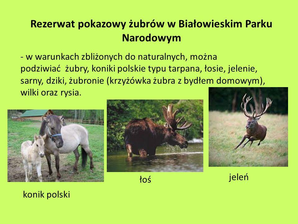 Rezerwat pokazowy żubrów w Białowieskim Parku Narodowym - w warunkach zbliżonych do naturalnych, można podziwiać żubry, koniki polskie typu tarpana, ł