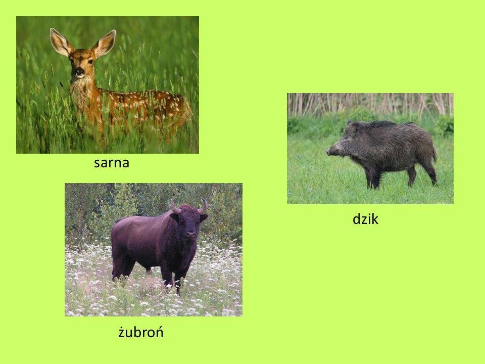 sarna dzik żubroń