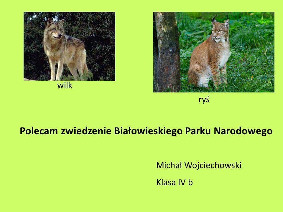 wilk ryś Polecam zwiedzenie Białowieskiego Parku Narodowego Michał Wojciechowski Klasa IV b