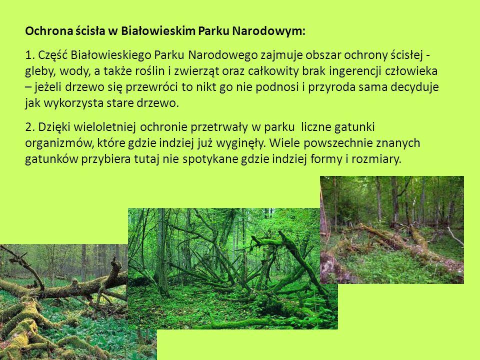 Ochrona ścisła w Białowieskim Parku Narodowym: 1. Część Białowieskiego Parku Narodowego zajmuje obszar ochrony ścisłej - gleby, wody, a także roślin i