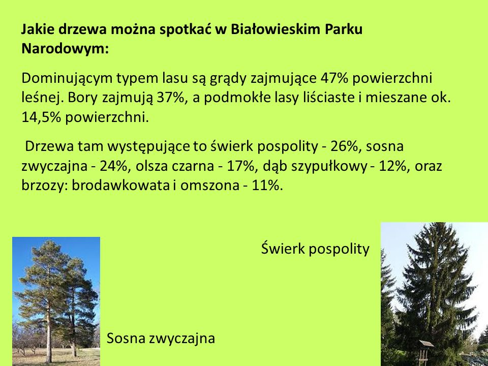 Jakie drzewa można spotkać w Białowieskim Parku Narodowym: Dominującym typem lasu są grądy zajmujące 47% powierzchni leśnej. Bory zajmują 37%, a podmo