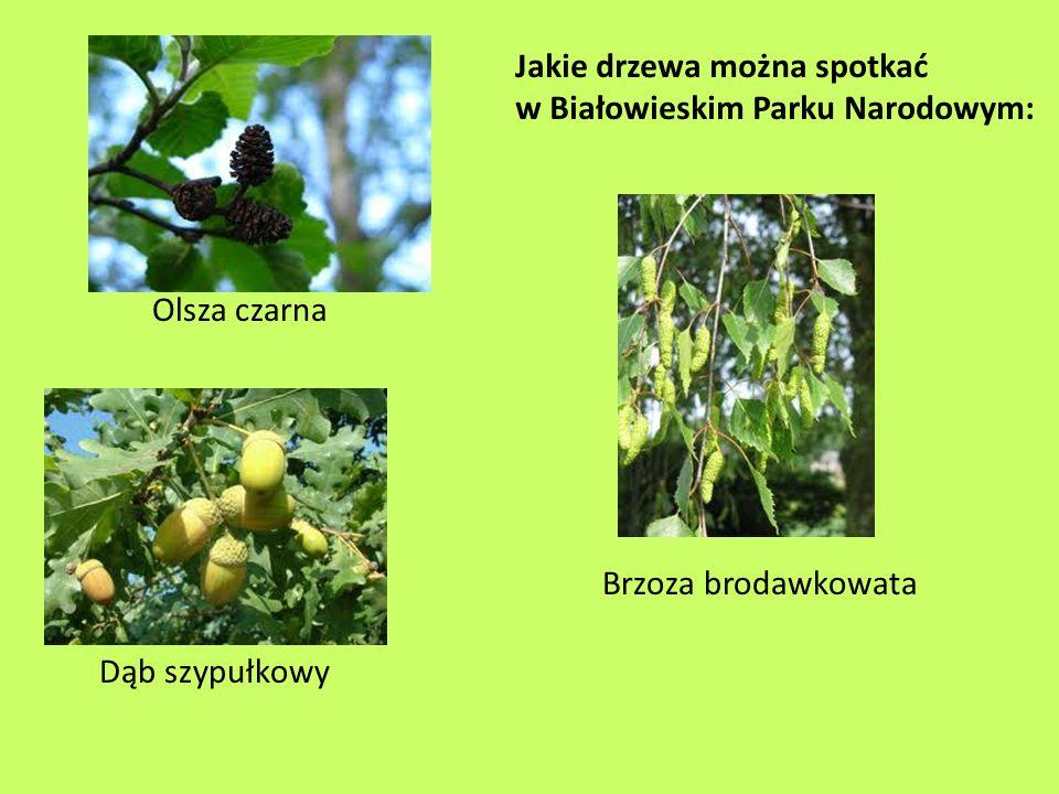 Roślinność Białowieskiego Parku Narodowego - najliczniejszą grupą są rośliny naczyniowe - jest ich nieco ponad tysiąc gatunków.