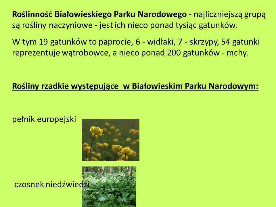 Roślinność Białowieskiego Parku Narodowego - najliczniejszą grupą są rośliny naczyniowe - jest ich nieco ponad tysiąc gatunków. W tym 19 gatunków to p