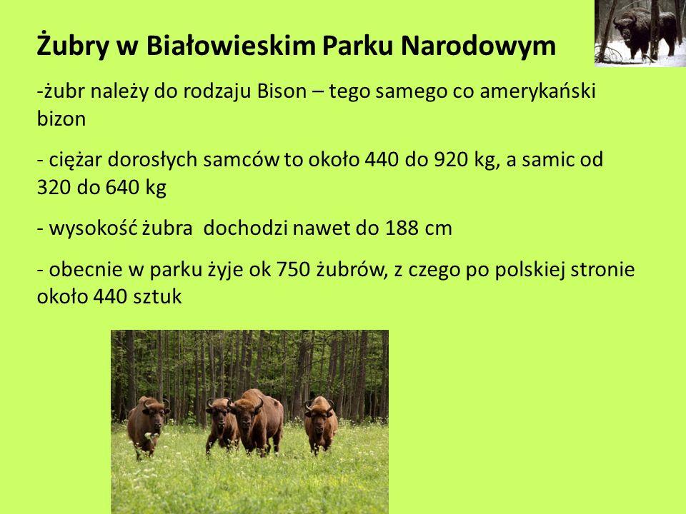 Żubry w Białowieskim Parku Narodowym -żubr należy do rodzaju Bison – tego samego co amerykański bizon - ciężar dorosłych samców to około 440 do 920 kg