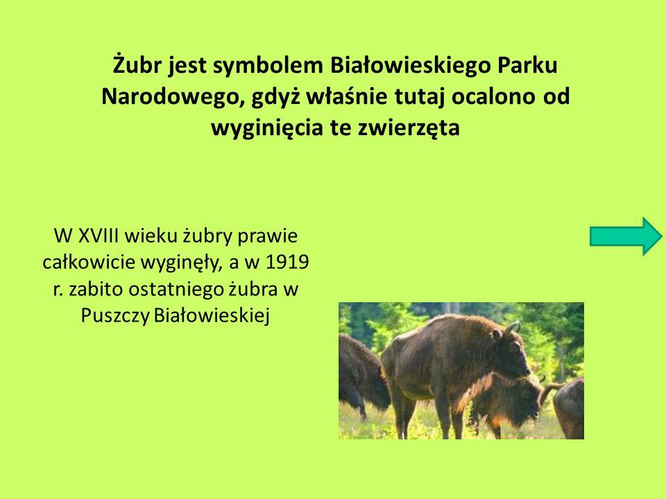 Żubr jest symbolem Białowieskiego Parku Narodowego, gdyż właśnie tutaj ocalono od wyginięcia te zwierzęta W XVIII wieku żubry prawie całkowicie wyginę