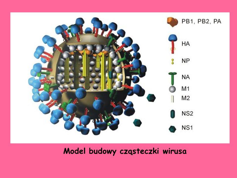 Model budowy cząsteczki wirusa
