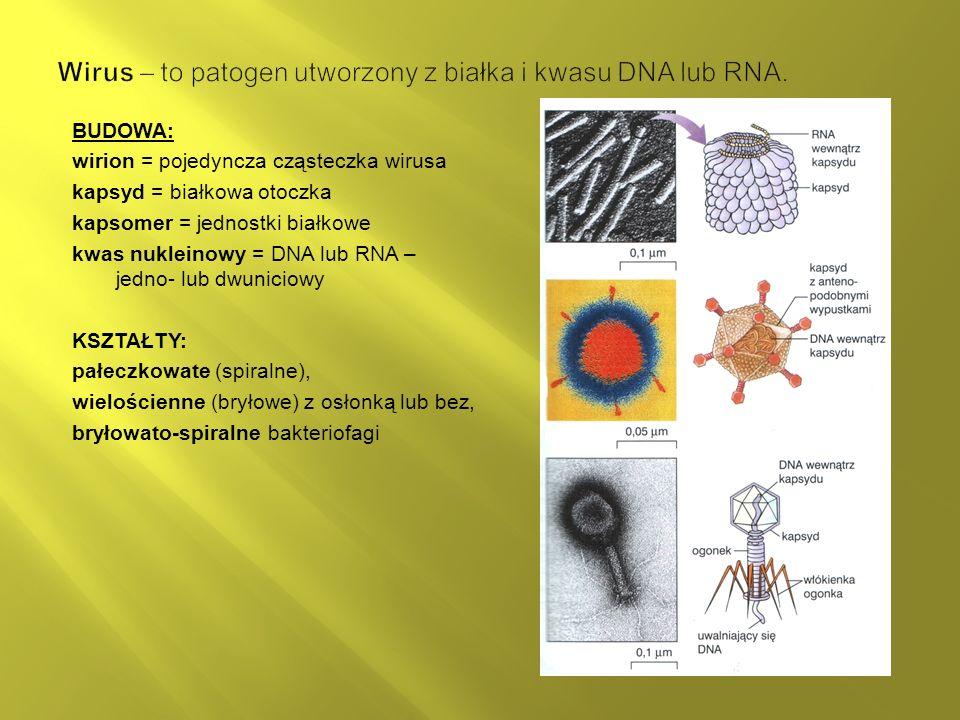 BUDOWA: wirion = pojedyncza cząsteczka wirusa kapsyd = białkowa otoczka kapsomer = jednostki białkowe kwas nukleinowy = DNA lub RNA – jedno- lub dwuniciowy KSZTAŁTY: pałeczkowate (spiralne), wielościenne (bryłowe) z osłonką lub bez, bryłowato-spiralne bakteriofagi