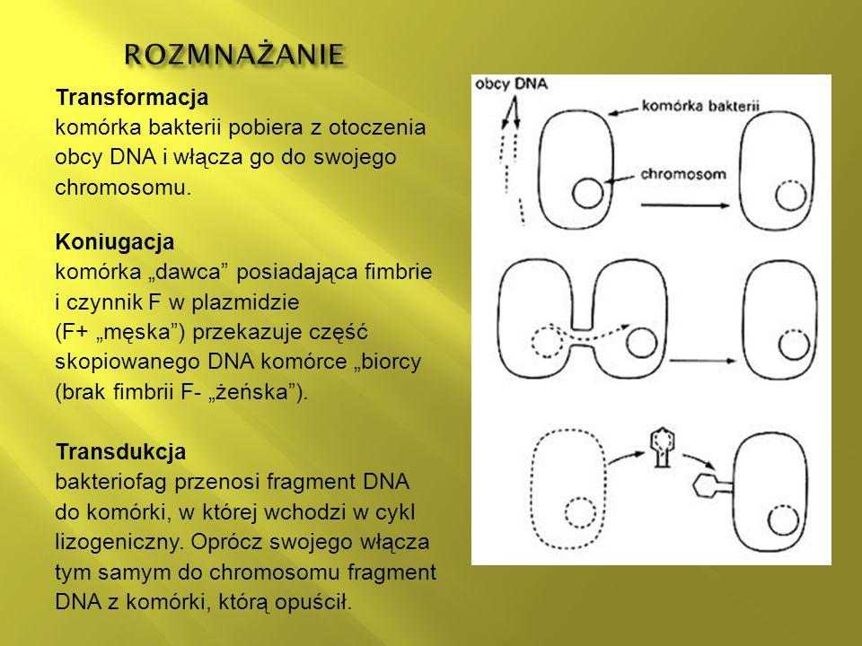 Transformacja komórka bakterii pobiera z otoczenia obcy DNA i włącza go do swojego chromosomu.