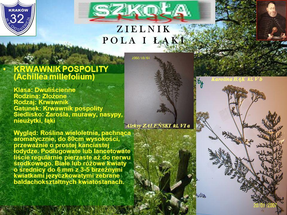 Z I E L N I K P O L A I Ł Ą K I KONICZYNA ŁĄKOWA (Trifolium pratense) Klasa: Dwuliścienne Rodzina: Motylkowate Rodzaj: Koniczyna Gatunek: Koniczyna łą