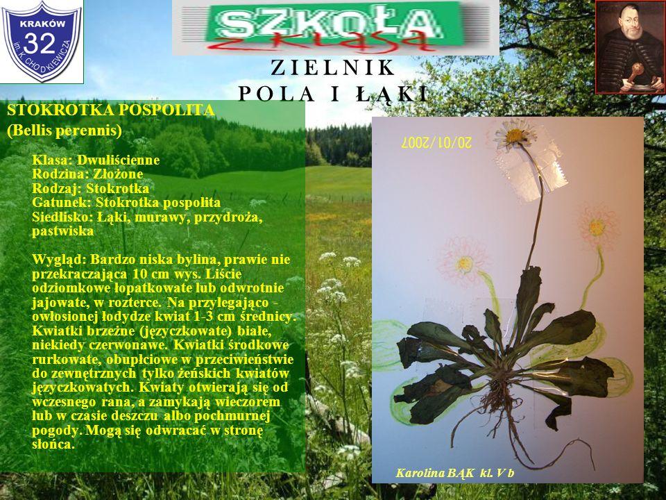 Z I E L N I K P O L A I Ł Ą K I RUMIANEK POSPOLITY (Matricaria chamomilla) Klasa: Dwuliścienne Rodzina: Złożone Rodzaj: Rumianek Gatunek: Rumianek pos