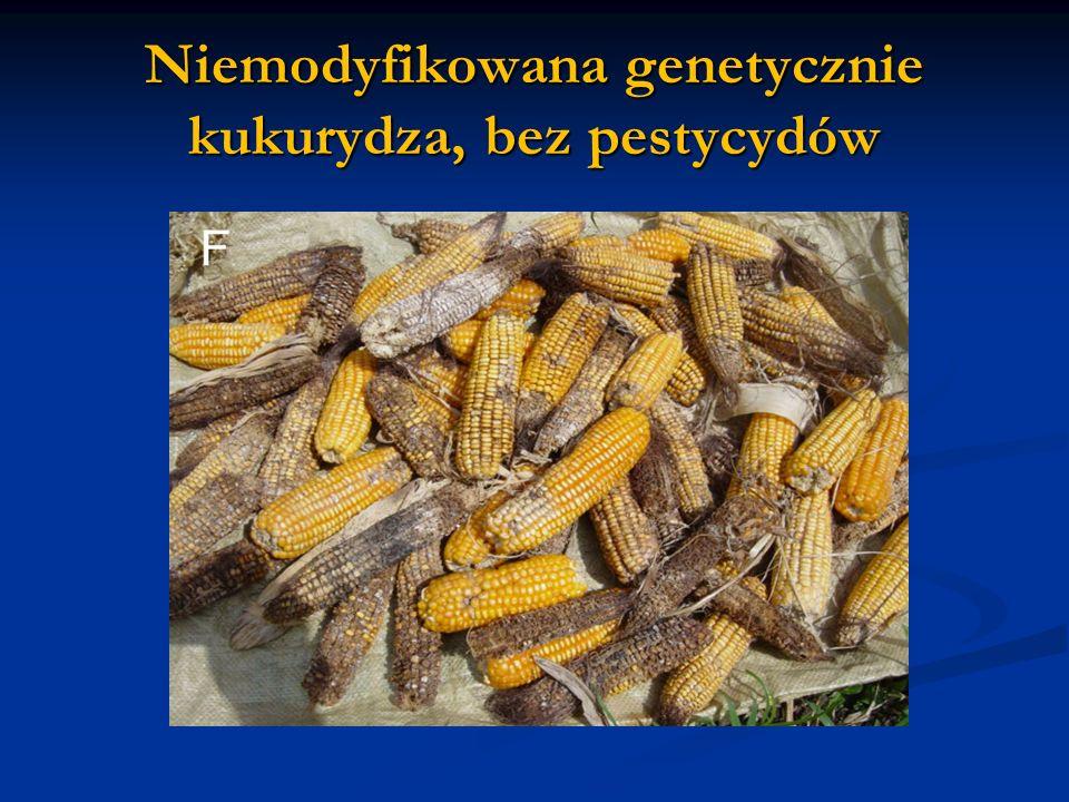 Niemodyfikowana genetycznie kukurydza, bez pestycydów
