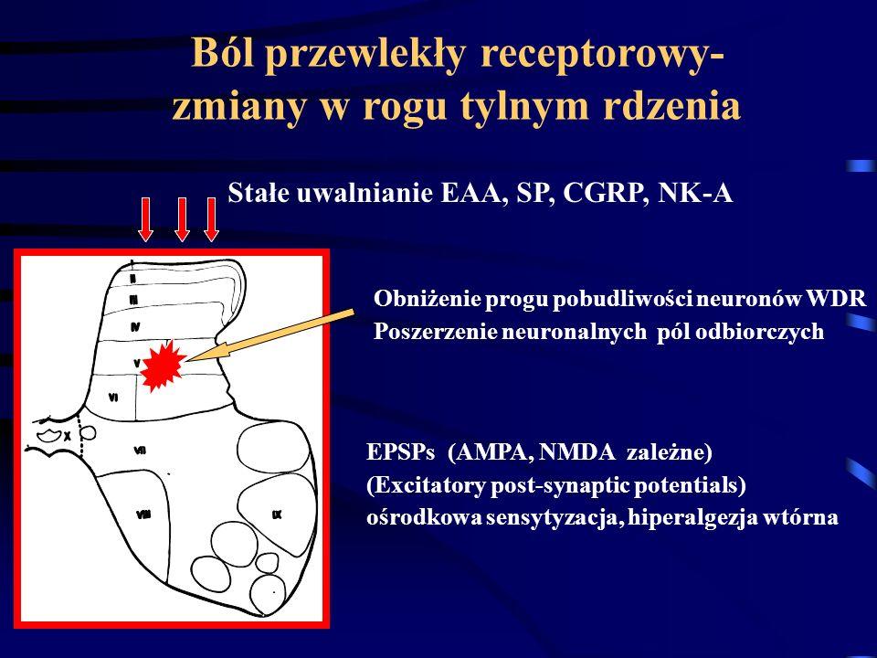 Ból przewlekły receptorowy- zmiany w rogu tylnym rdzenia Obniżenie progu pobudliwości neuronów WDR Poszerzenie neuronalnych pól odbiorczych Stałe uwal