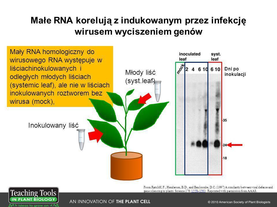 Małe RNA korelują z indukowanym przez infekcję wirusem wyciszeniem genów Mały RNA homologiczny do wirusowego RNA występuje w liściachinokulowanych i o