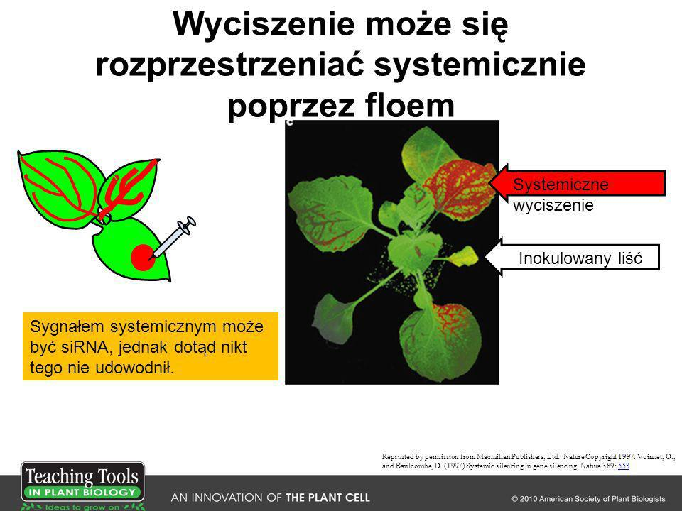 Wyciszenie może się rozprzestrzeniać systemicznie poprzez floem Reprinted by permission from Macmillan Publishers, Ltd: Nature Copyright 1997. Voinnet