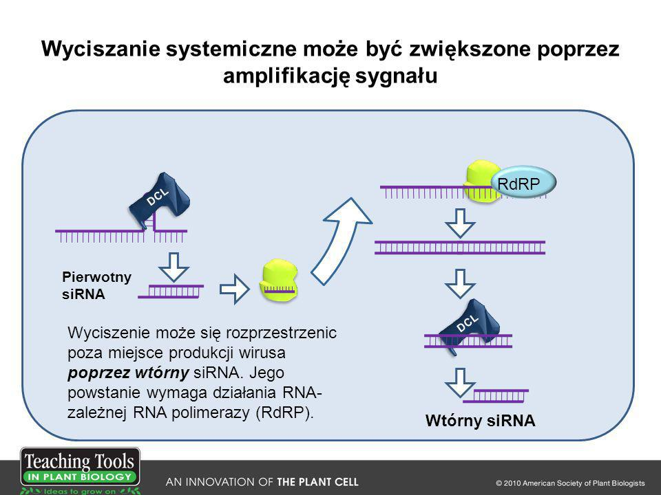 Wyciszanie systemiczne może być zwiększone poprzez amplifikację sygnału DCL Wtórny siRNA RdRP DCL Pierwotny siRNA Wyciszenie może się rozprzestrzenic