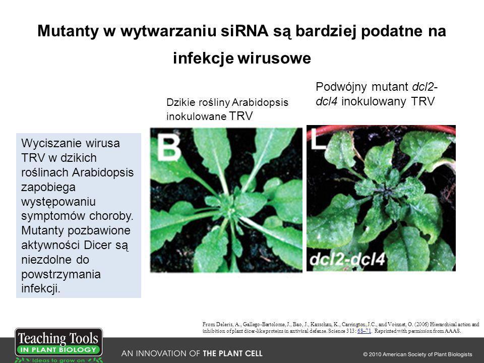 Mutanty w wytwarzaniu siRNA są bardziej podatne na infekcje wirusowe From Deleris, A., Gallego-Bartolome, J., Bao, J., Kasschau, K., Carrington, J.C.,