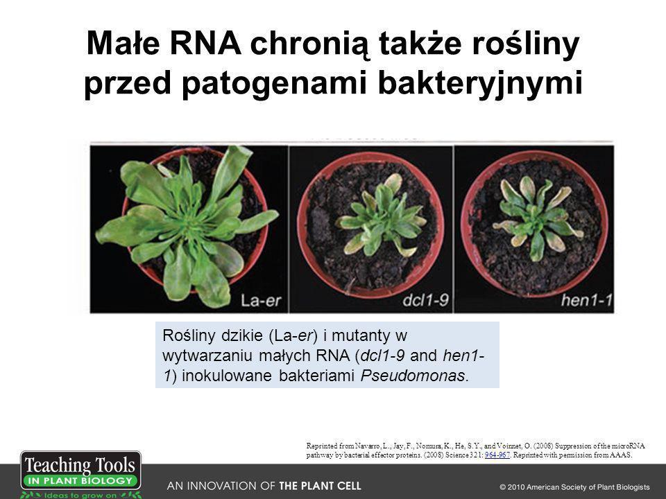 Małe RNA chronią także rośliny przed patogenami bakteryjnymi Reprinted from Navarro, L., Jay, F., Nomura, K., He, S.Y., and Voinnet, O. (2008) Suppres