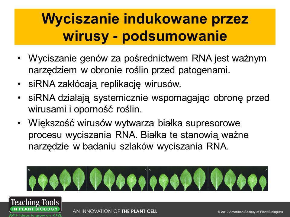 Wyciszanie indukowane przez wirusy - podsumowanie Wyciszanie genów za pośrednictwem RNA jest ważnym narzędziem w obronie roślin przed patogenami. siRN