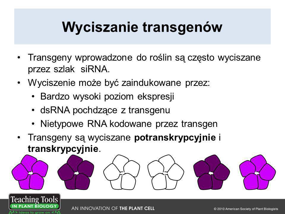 Wyciszanie transgenów Transgeny wprowadzone do roślin są często wyciszane przez szlak siRNA. Wyciszenie może być zaindukowane przez: Bardzo wysoki poz